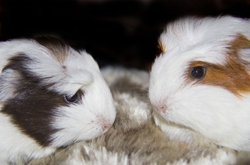 cute guinea pigs pair