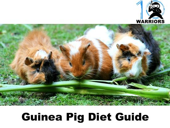 guinea pig diet